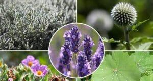 Begleitpflanzen Lavendel