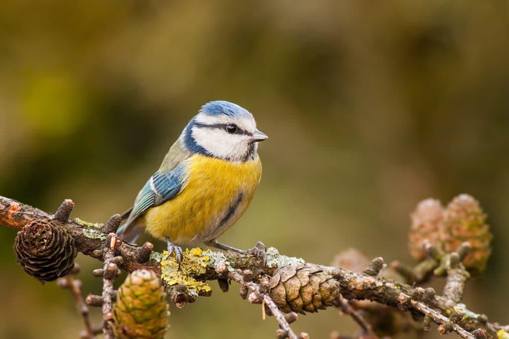 Blaumeise - Cyanistes caeruleus, Vogel gelbe Brust