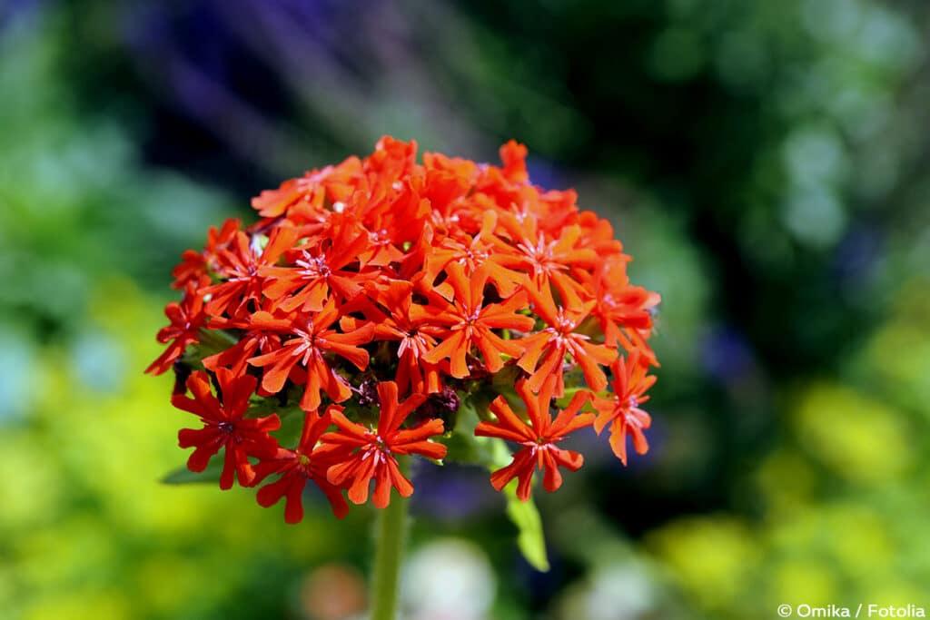 Brennende Liebe (Lychnis chalcedonica)