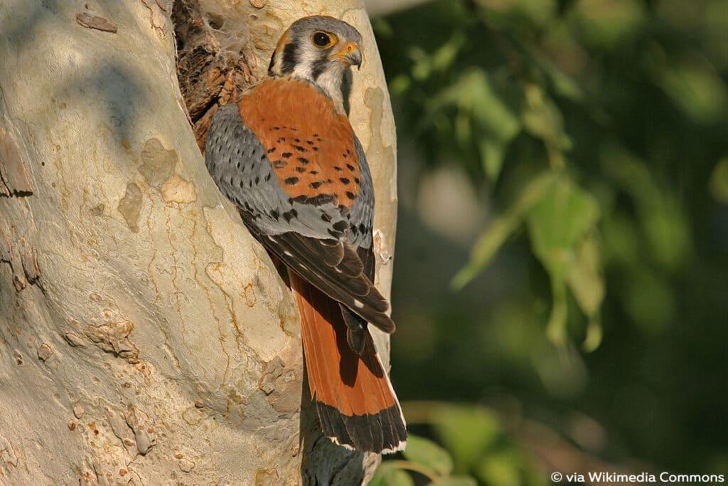 Buntfalke (Falco sparverius), Falken
