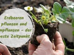 Erdbeeren pflanzen und umpflanzen