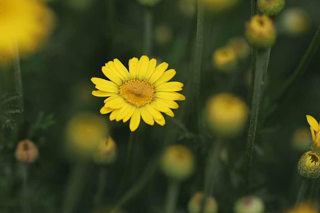 Färberkamille (Anthemi tinctoria)