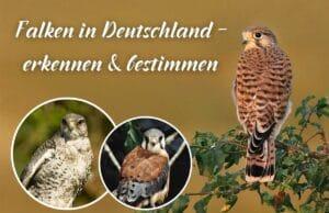 Falken in Deutschland