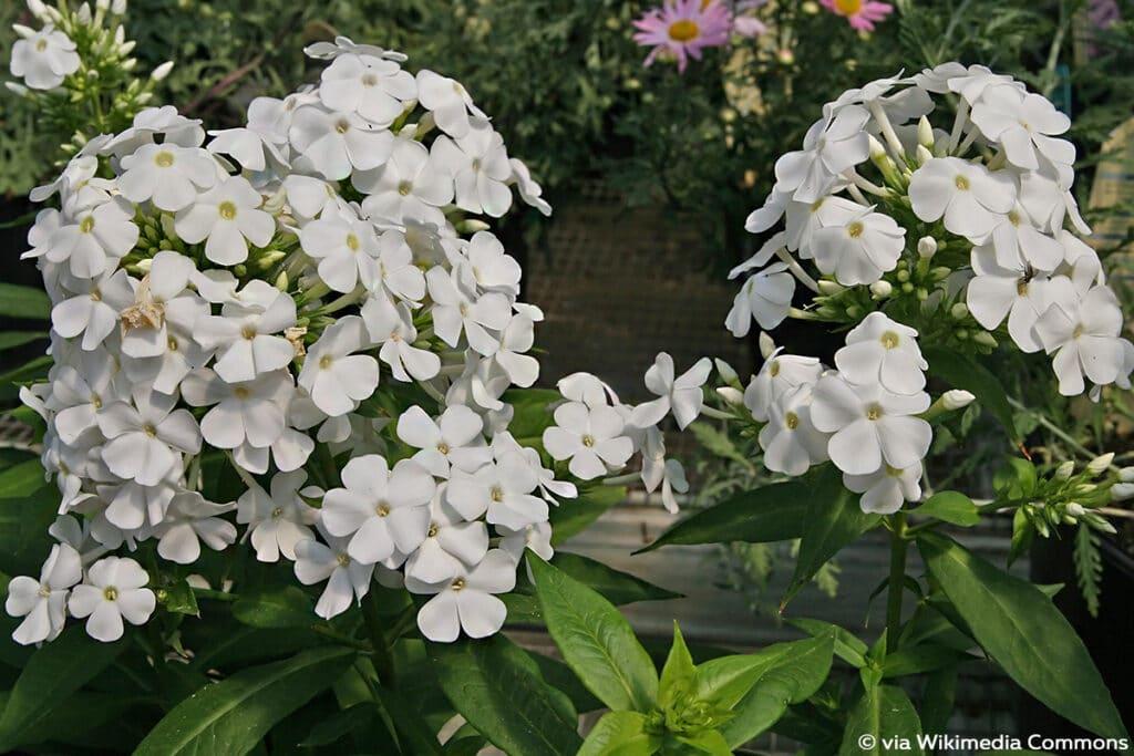 Flammenblume, weiß (Phlox paniculata)
