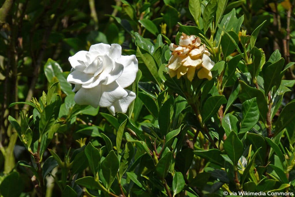 Gardenie (Gardenia jasminoides)