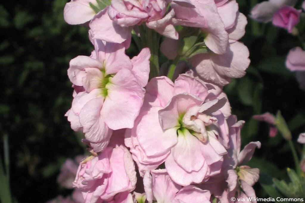 Gartenlevkoje (Matthiola incana), duftende Pflanzen