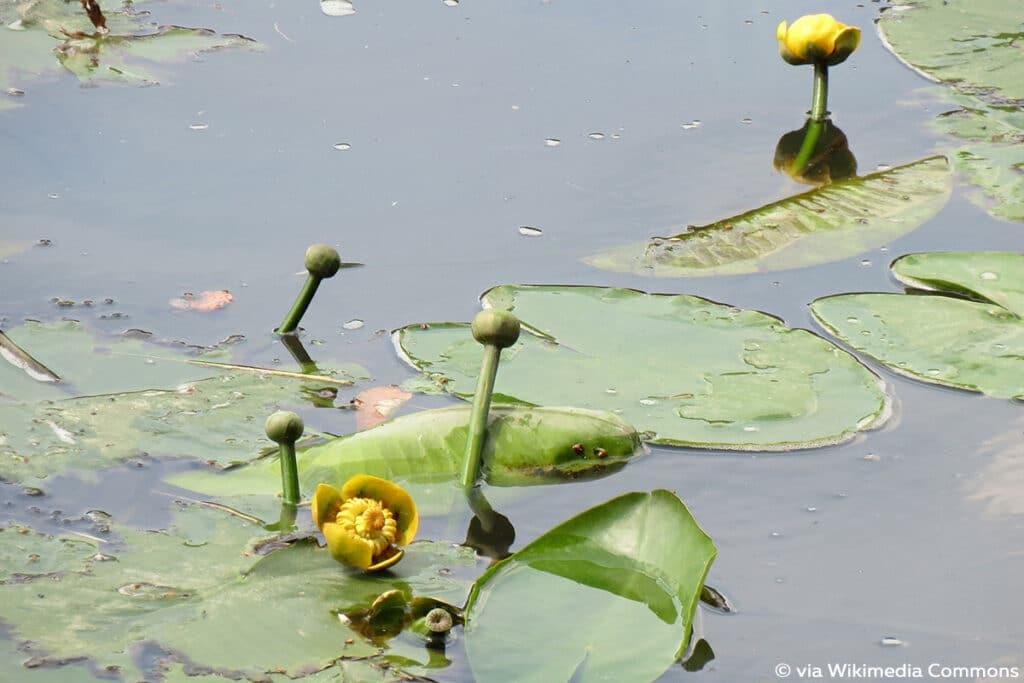 Gelbe Teichrose, Gelbe Teichmummel (Nuphar lutea), psychoaktive Pflanzen