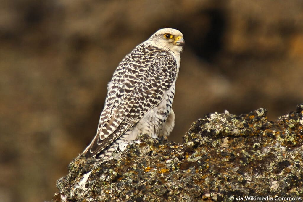 Gerfalke (Falco rusticolus)
