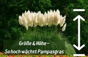 Pampasgras - Größe und Höhe