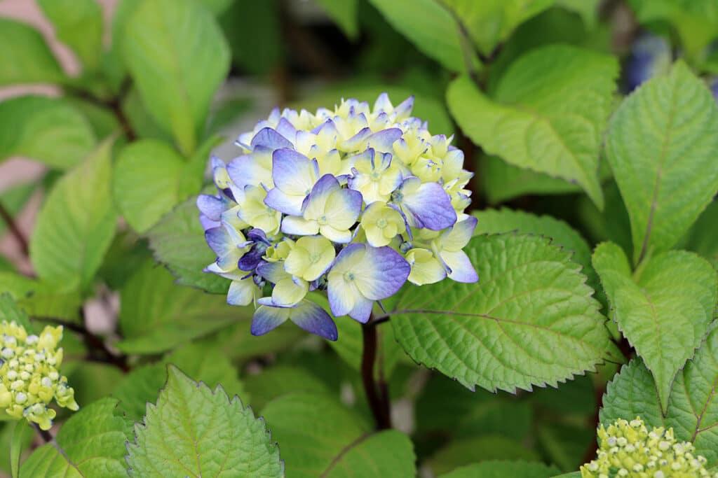 Hortensie, psychoaktive Pflanzen