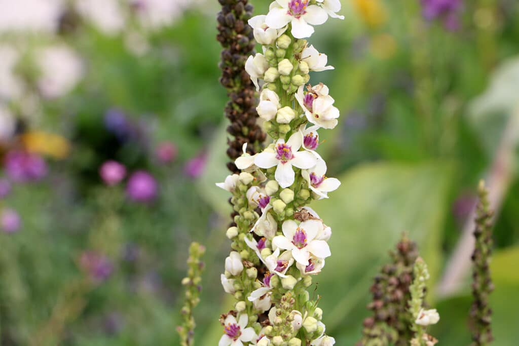 Königskerze (Verbascum), Begleitpflanze Lavendel