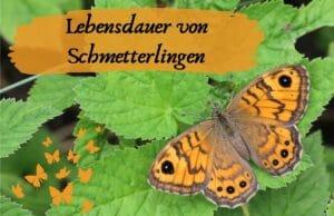Lebensdauer Schmetterlinge