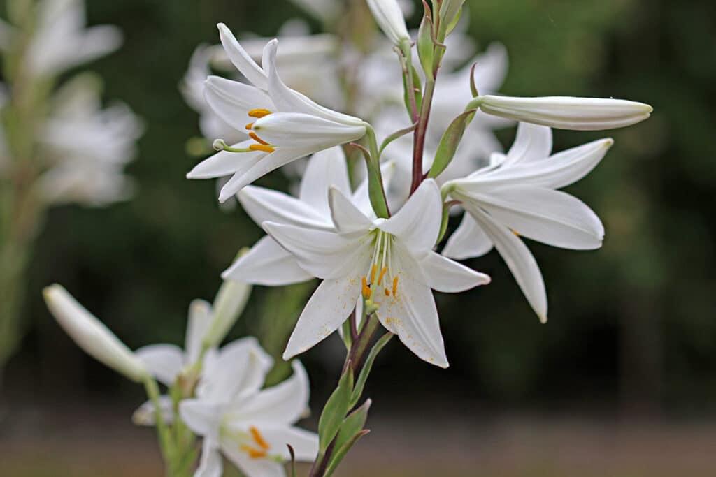 Lilien (Lilium), duftende Pflanzen