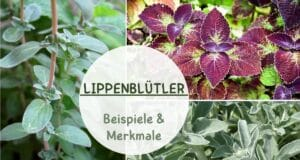 Lippenblütler