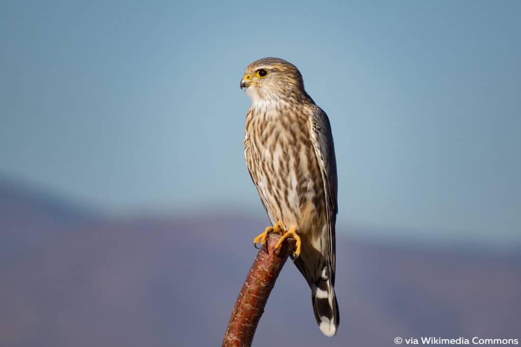 Merlin (Falco columbarius), Falken
