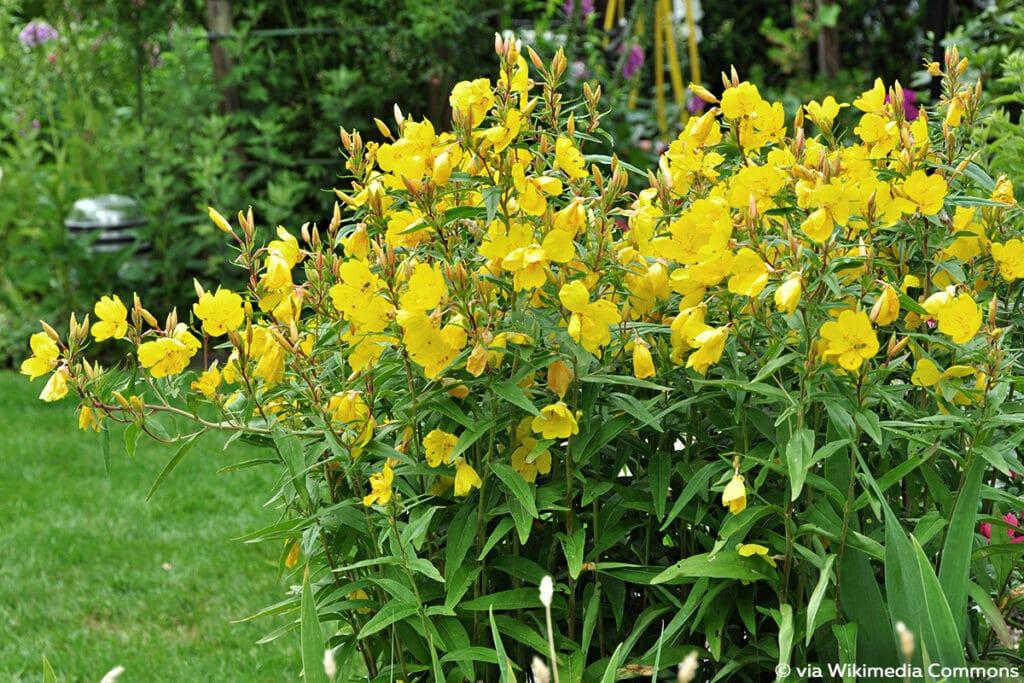 Nachtkerze (Oenothera biennis), Sonnenpflanzen