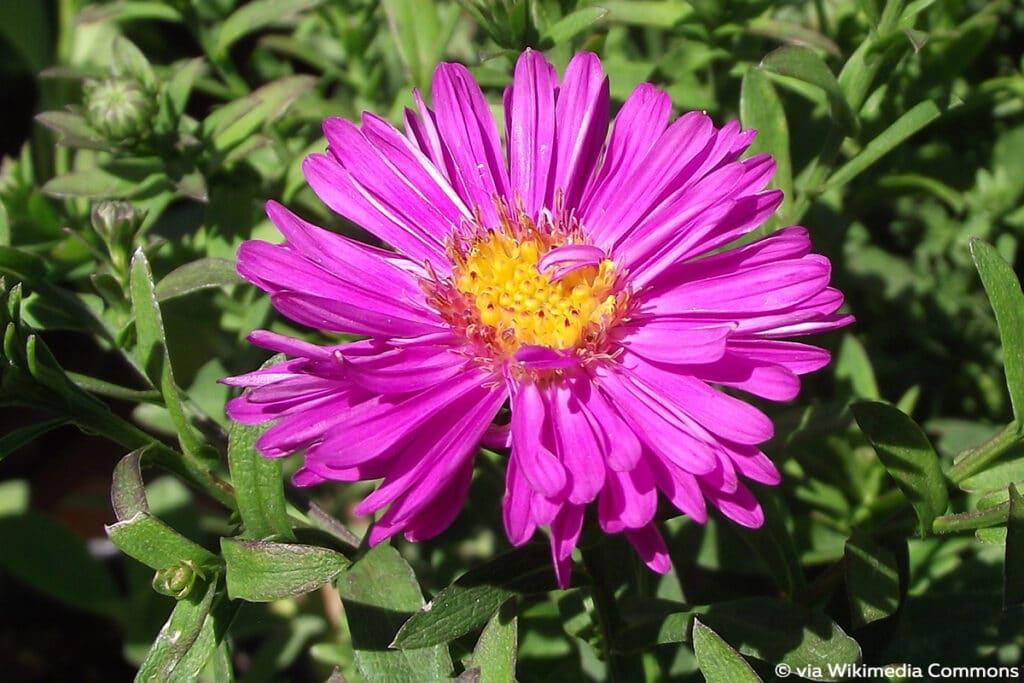 Neubelgien-Herbstaster (Aster novi-belgii)