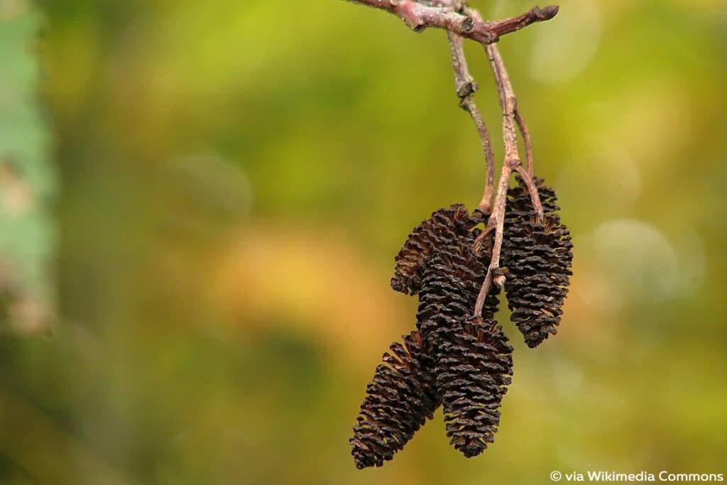 Oregon-Erle (Alnus rubra)