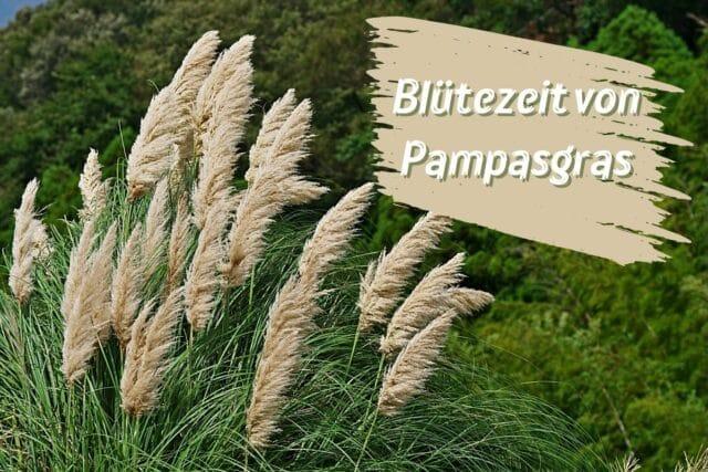 Blütezeit Pampasgras