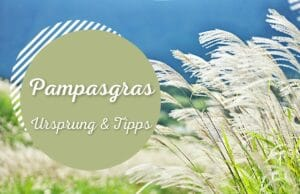 Pampasgras
