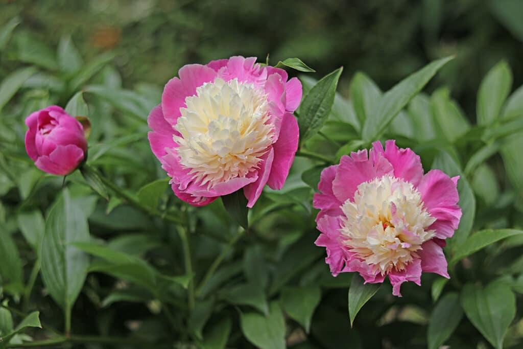 Edel-Pfingstrosen (Paeonia-Lactiflora