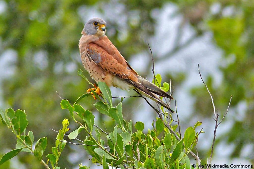 Rötelfalke (Falco naumanni)