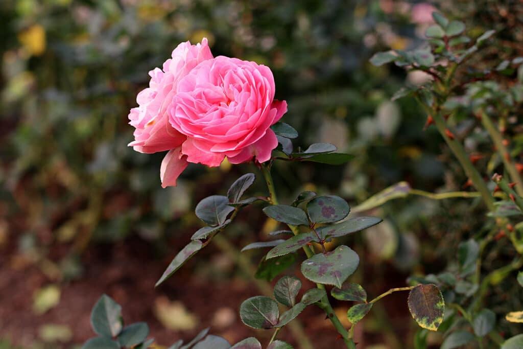 Rosen, duftende Pflanzen