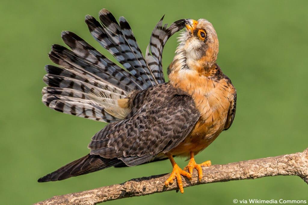 Rotfußfalke (Falco vespertinus), Falken