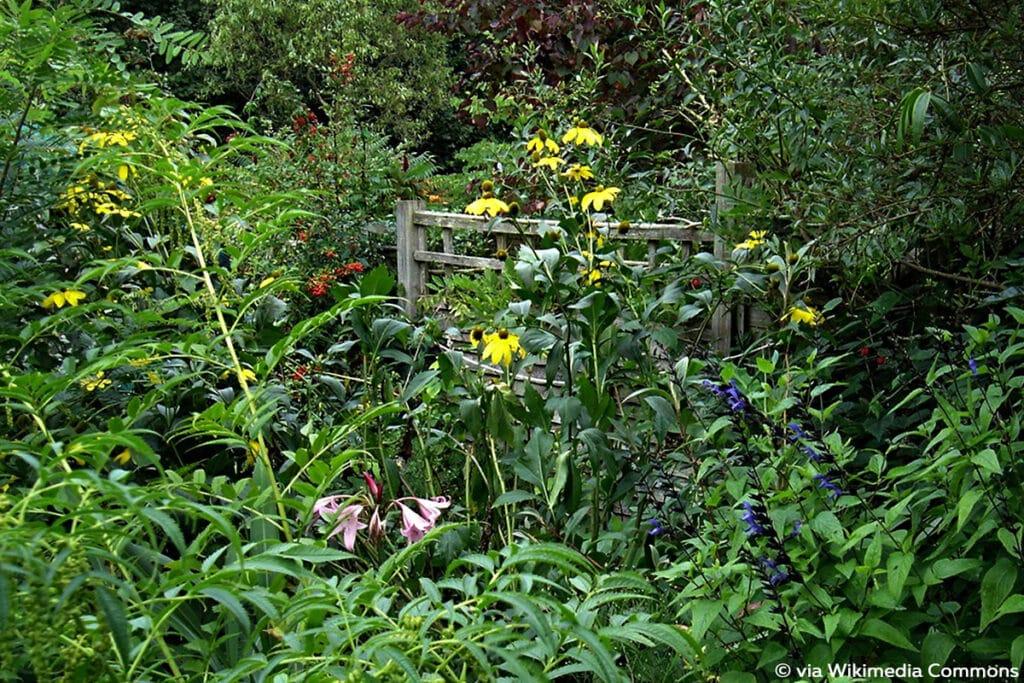 Stauden-Sonnenblume (Helianthus atrorubens)