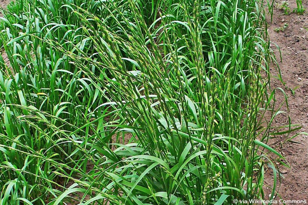 Taumellolch (Lolium temulentum), psychoaktive Pflanzen