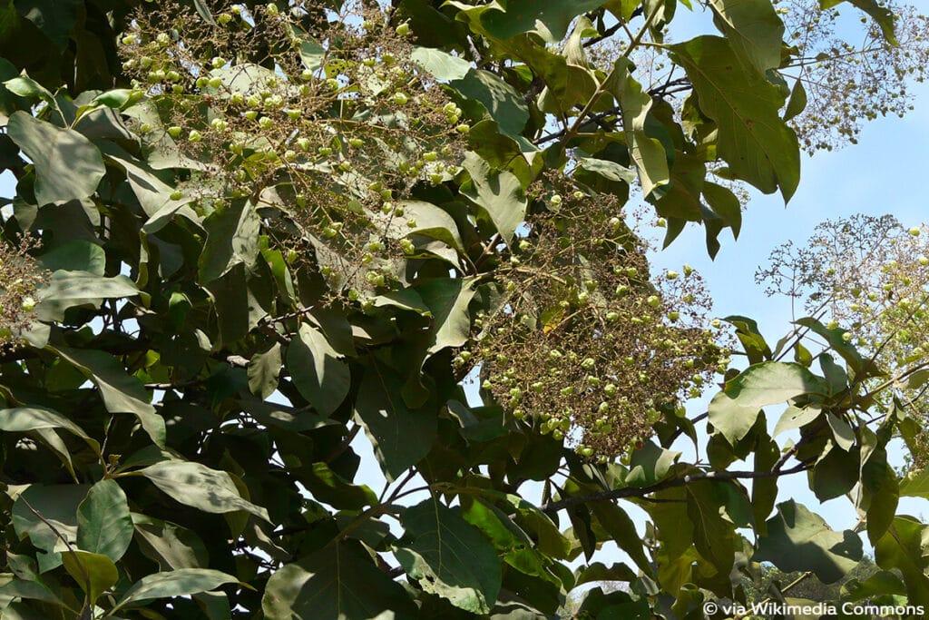 Teakbaum (Tectona grandis), Lippenblütengewächse