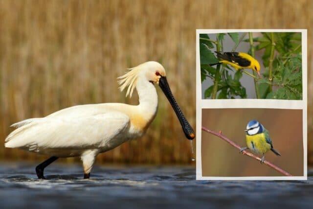 Vogel gelber Bauch