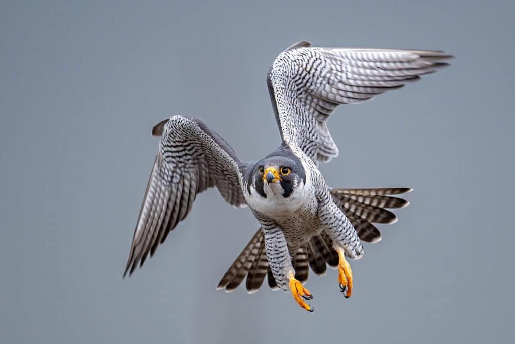 Wanderfalke, Falco peregrinus, Greifvögel