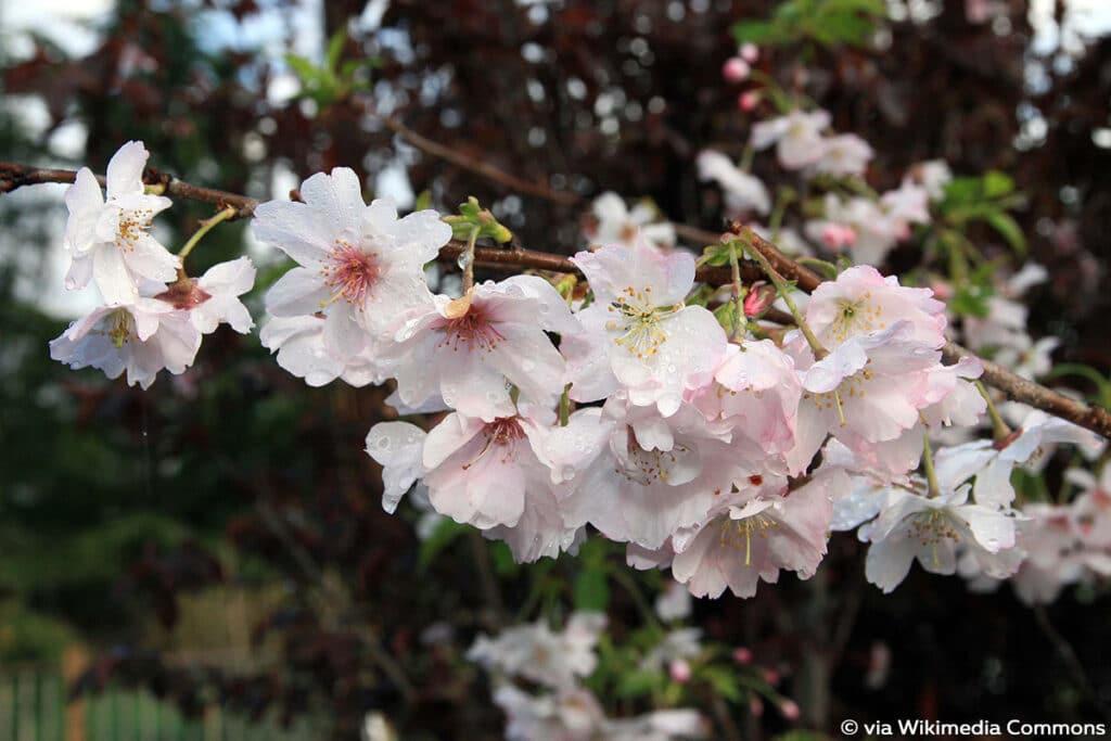 Winter-Kirsche (Prunus subhirtella f. autumnalis), Frühlingsblüher