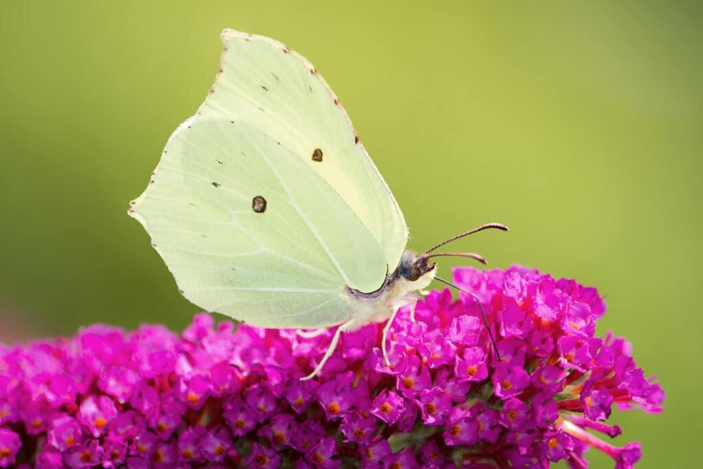 Zitronenfalter (Gonepteryx rhamni), Schmetterlinge