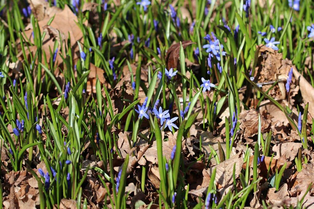 Zweiblättrige Blaustern (Scilla bifolia), Frühlingsblüher