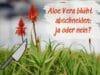 Aloe Vera Blüte abschneiden