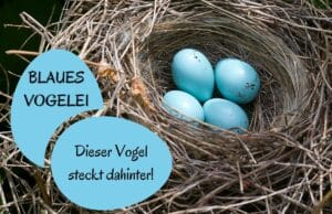 Blaues Vogelei
