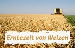 Erntezeit Weizen