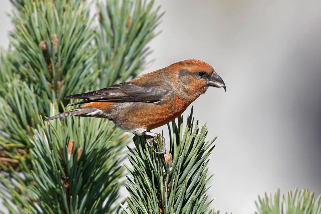 Fichtenkreuzschnabel - Loxia curvirostra, Vogel roter Bauch