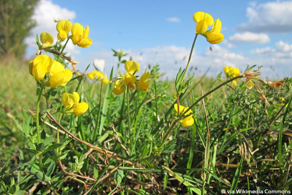 Gewöhnlicher Hornklee (Lotus corniculatus), Raupen Nahrungsquellen