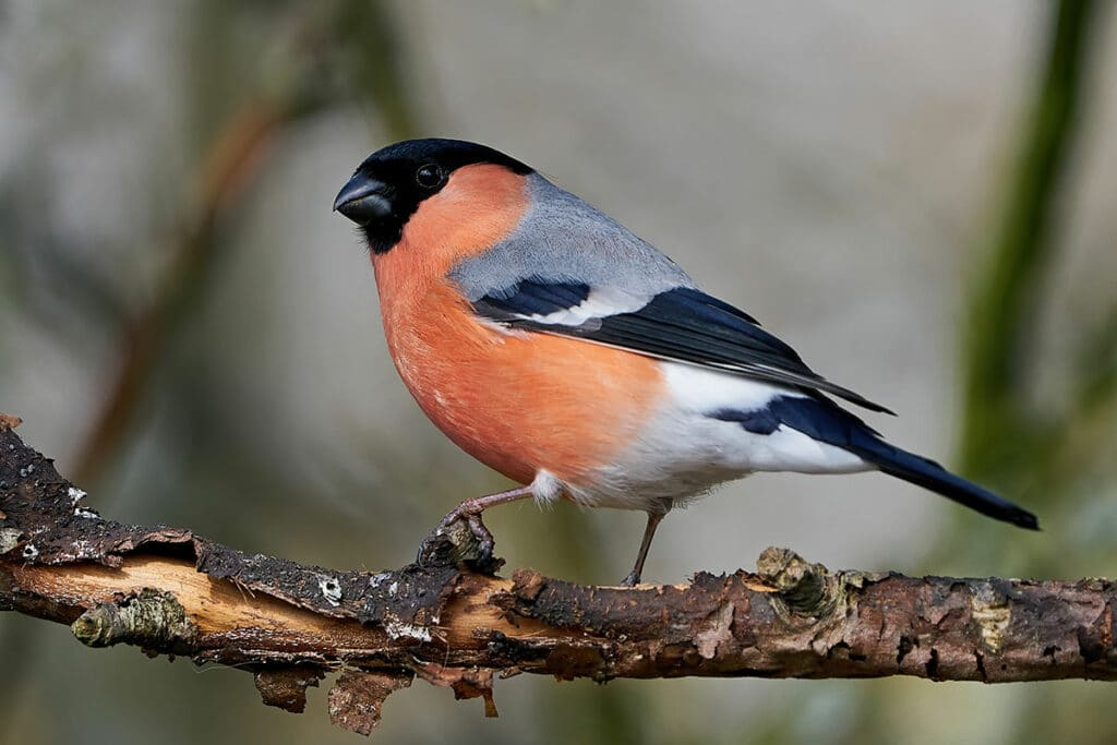 Gimpel – Pyrrhula pyrrhula, roter Bauch, Vogel