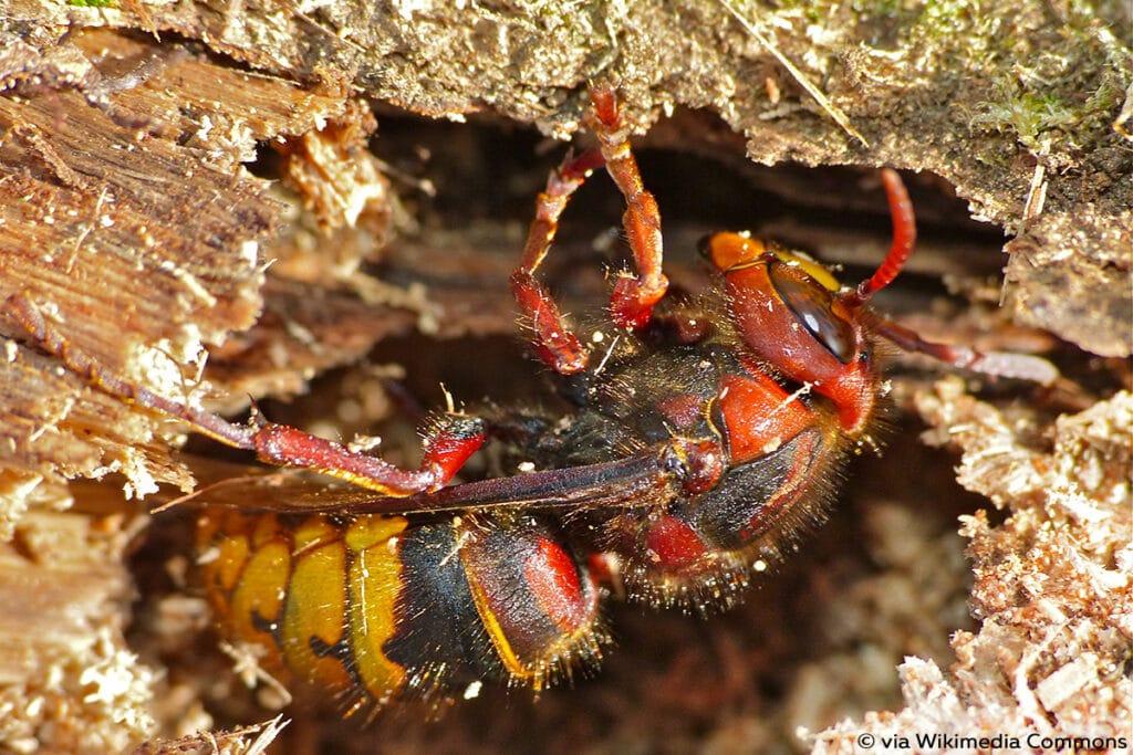 Vespa crabro (queen)