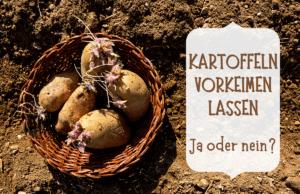 Kartoffeln vorkeimen