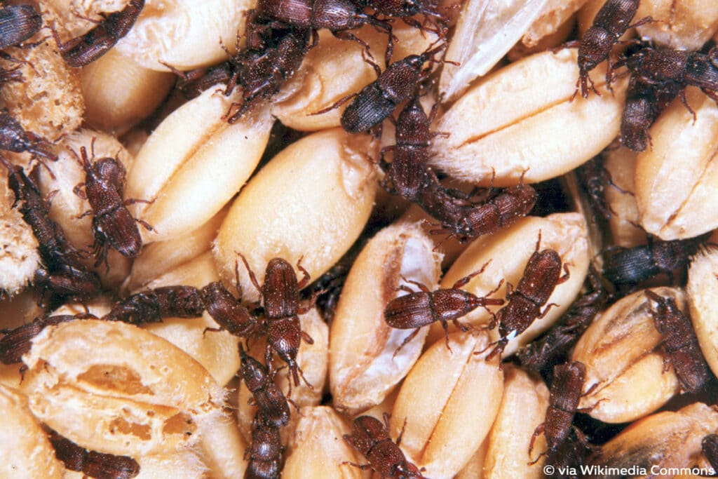 Kornkäfer (Sitophilus granarius), Käferarten