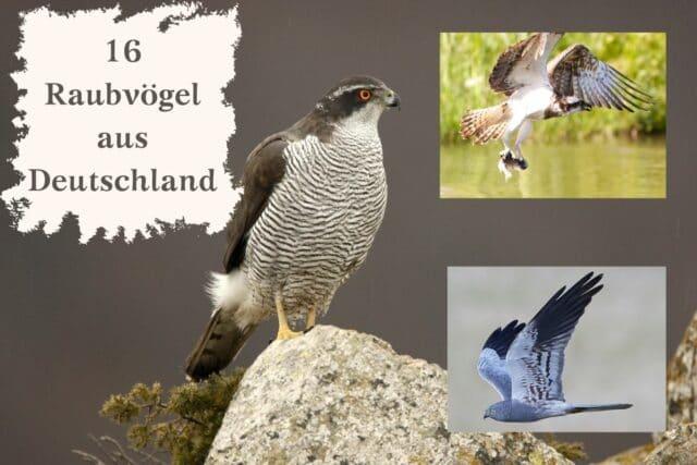 Raubvögel Deutschland