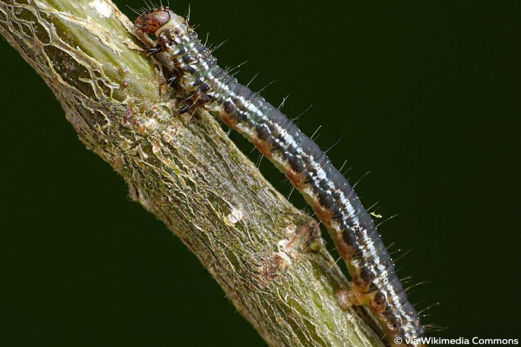 Heidelbeer-Palpenspanner (Hydriomena furcata), schwarze Raupen