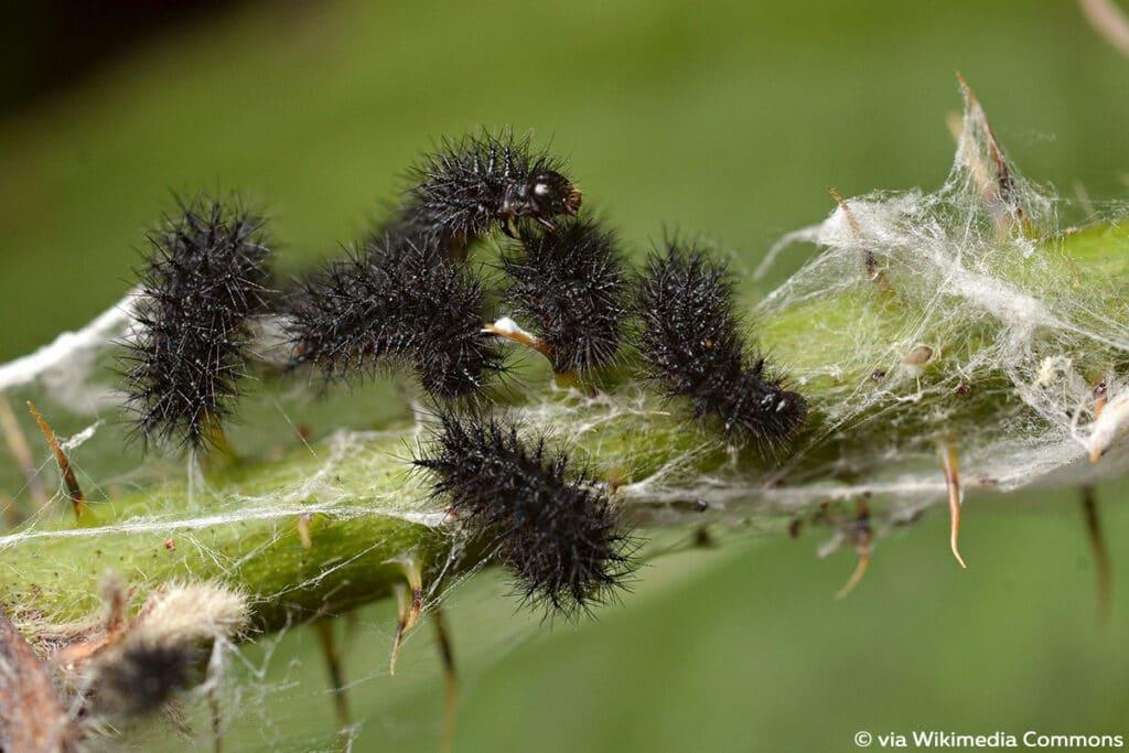 Skabiosen-Scheckenfalter (Euphydryas aurinia)