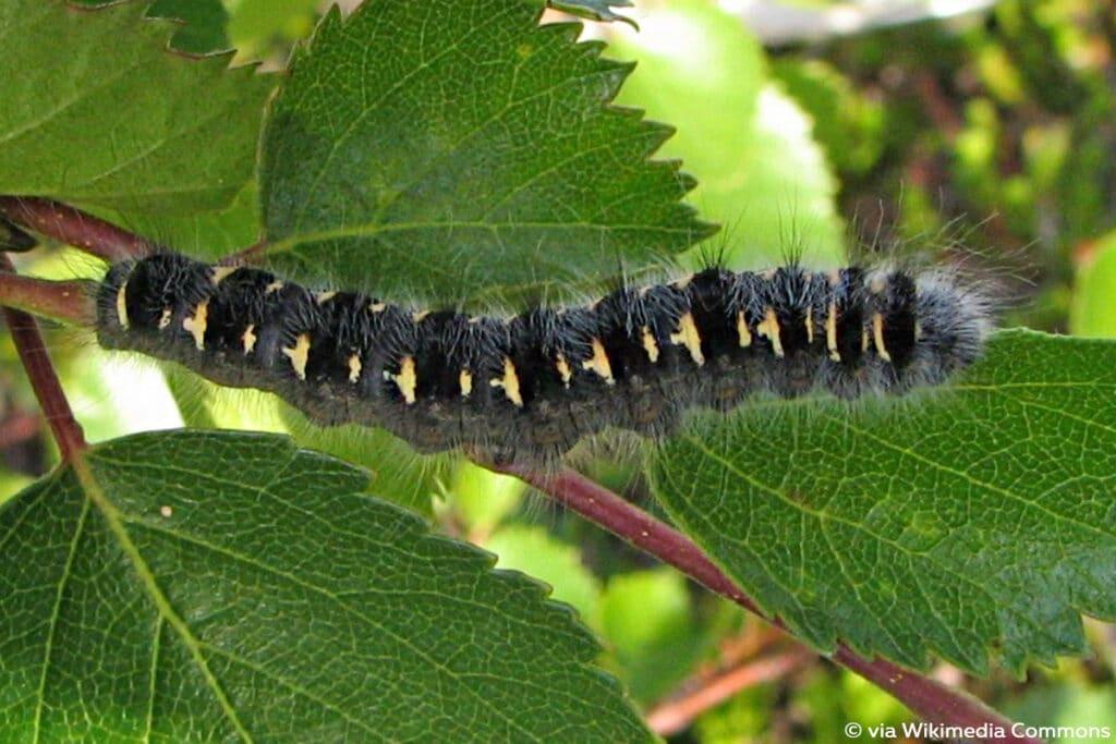 Weißdornspinner (Trichiura crataegi), schwarze Raupen