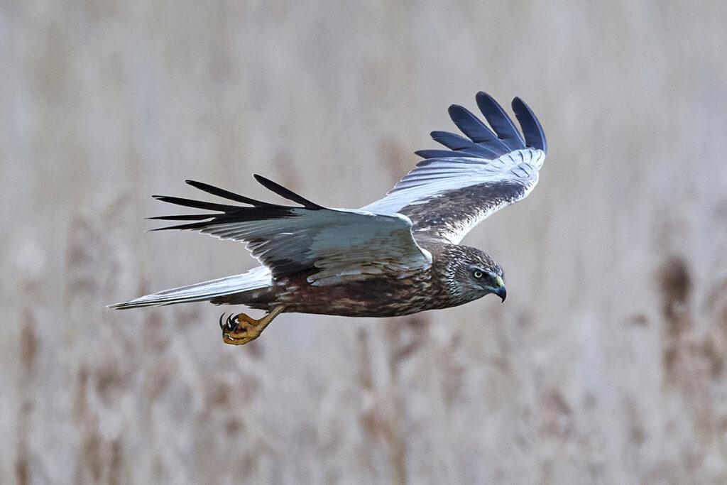 Rohrweihe (Circus aeruginosus), Greifvögel